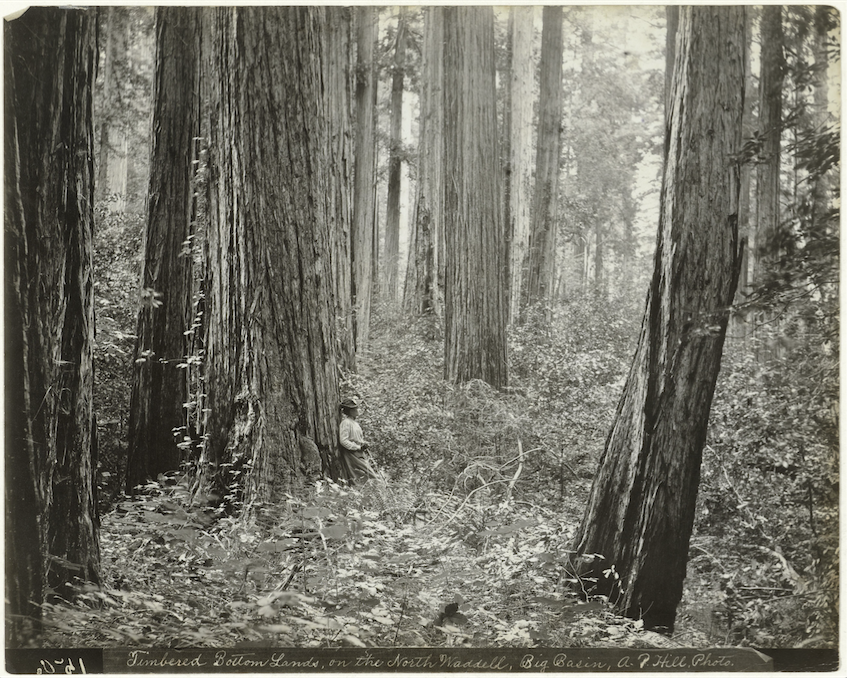 Big Basin Redwood Cedar Forest, Andrew P. Hill, 1880 - 1920